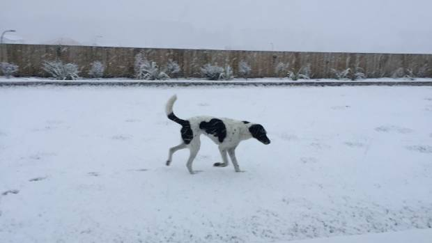 Jasper the dog enjoys the snow in Queenstown.