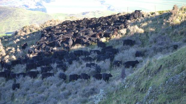 Kaiwara Farm's 300 cows are break-fenced on the hill