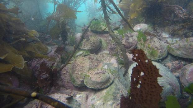 Footage from the video survey of reseeded paua in Tory Channel.