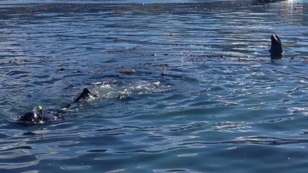 A curious seal keeps an eye on diver Jacob Radon during the paua survey last week.