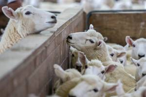 Lamb prices have surprised this year, while a forecast price rise in wool failed to eventuate.