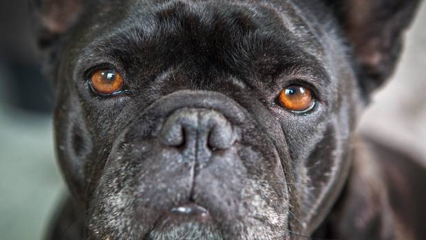 Vets say it is morally wrong to support the sale of flat-faced dogs.