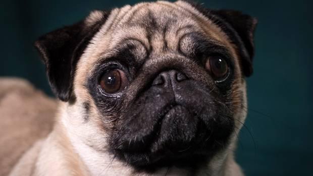 La moda de los perros frente a un tiempo de vida de la miseria, el veterinario de la asociación advierte de ... Cosas.co.nz 1