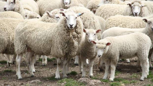 High demand for prime ewes reflected a $3-$5 price increase.