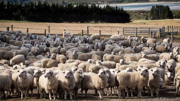 Ben Todhunter's Cleardale station has both an english leicester and a merino stud and has identified the halfbred from ...