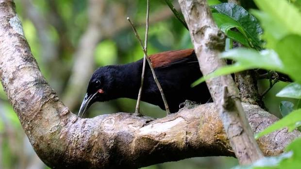 The juvenile saddleback, with the distinct markings of a young bird, photographed in Polhill Reserve.