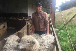 David Bennett with his english leicester ewes. The breed has been in New Zealand for more than 150 years.