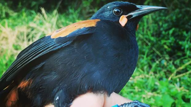 Saddlebacks, or tieke, are being tagged by Dave Bryden in Wellington over May and June in order to follow their progress ...