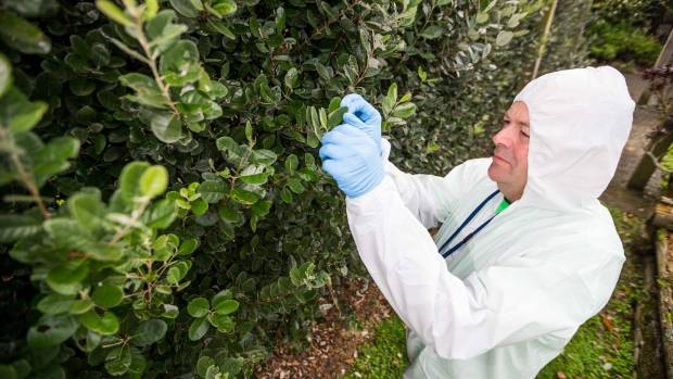 Brent Rogan of the Ministry for Primary Industries checks trees in Taranaki for myrtle rust.