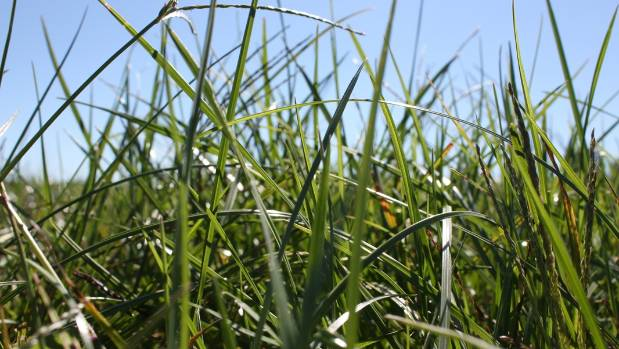 Several ryegrass varieties developed by scientists from AgResearch are undergoing field trials in the United States.