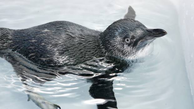 A penguin has been killed by a dog in central Wellington (File photo).