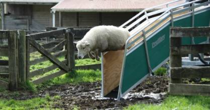 A sheep leaps over the mud after her first ride along a portable sheep conveyor belt at Te Wera on Friday.