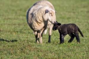 A ewe sniffs her new lamb. These out of season lambs were born in a paddock near Awahuri in Manawatu.