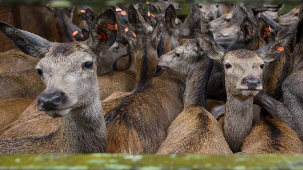 Deer on sale at Canterbury's High Peak Station. If the industry continues on a stable trajectory, slaughter numbers ...