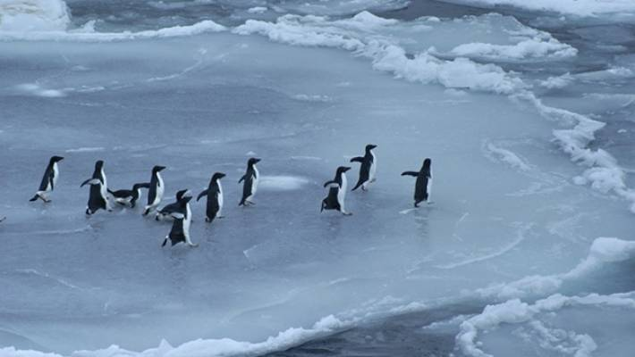 Adelie penguins on the newly formed ice floe, Northern Ross Sea. (Photo File).