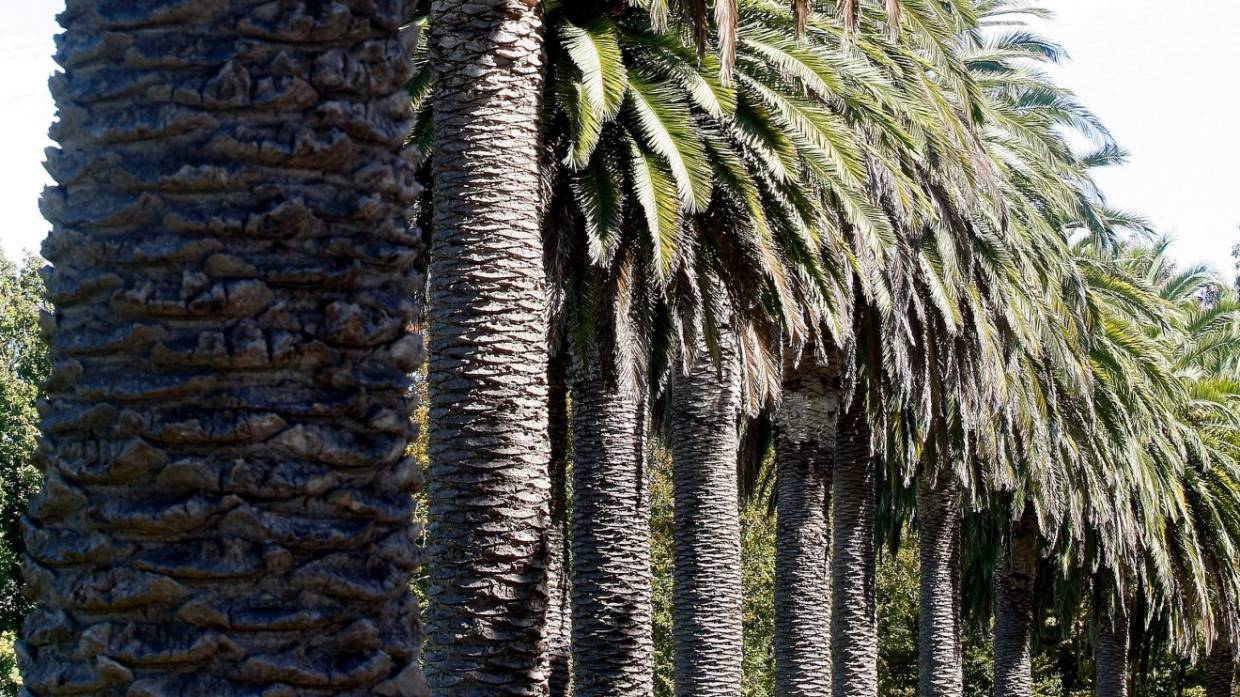 The Pretty Palm Tree That Can Bring A World Of Pain Stuff Co Nz
