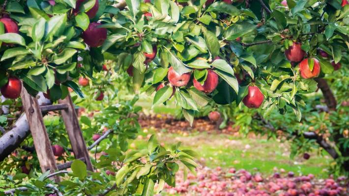 Planning And Planting The Perfect Backyard Orchard Stuff Co Nz