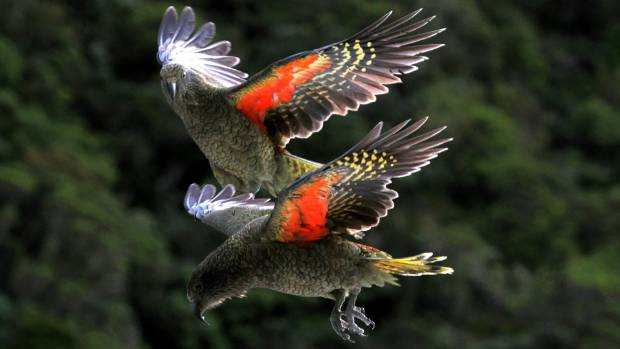 Kea, the world's only alpine parrot and among the most intelligent known bird species, is in trouble.