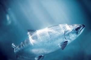 New Zealand King Salmon has filed for a judicial review to try stop a mussel farm extension threatening one of its ...