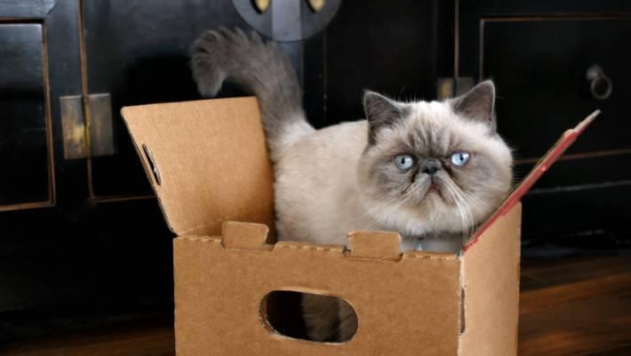 Persian Cats Make Great Apartment Pets