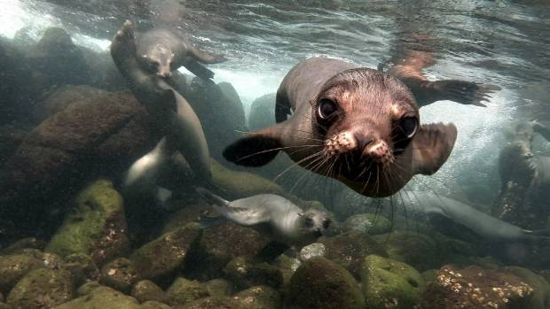 In Galapagos you can see plenty of sea lions both on the beach and while scuba diving.