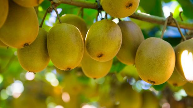 At the height of the Psa outbreak, kiwifruit orchard prices fell to bare land value.
