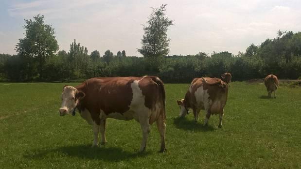 Fleckvieh dual purpose (dairy plus beef) cows on a Dutch organic dairy farm.