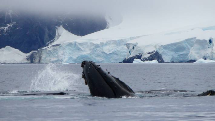 Japan to resume whaling, but only in its territorial waters
