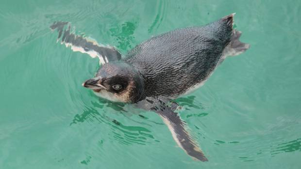 Little blue penguins could be the victims of the widened road (file photo).
