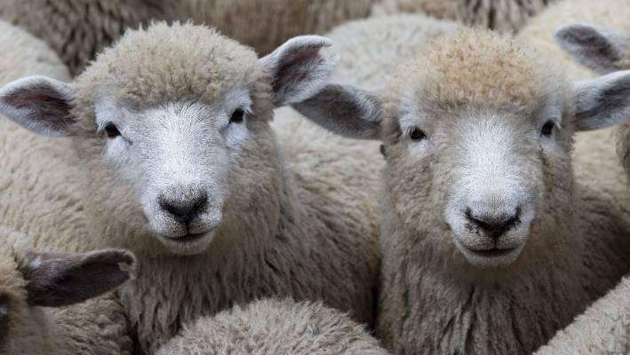 Lamb Market Rises 4 5 At Christchurch Livestock Sales Stuffconz