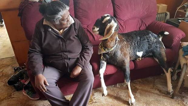 Finally, sometimes you just want to take a load off your feet and have a good old chin-wag. Poppet the goat has some ...