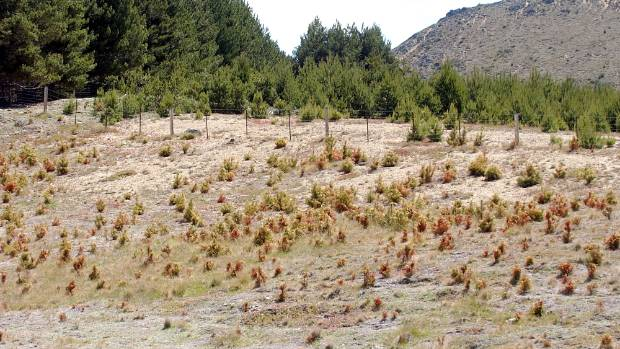 Wilding pines(corsican or scotts pine) that have just been sprayed on Molesworth Station.