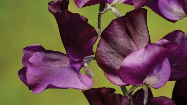 Sweet Pea 'Triple G' produces beautiful self-colour, navy blue flowers in spring. As with other spring-flowering sweet ...