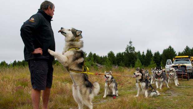 The Alaskan malamutes are furry, friendly and eager.