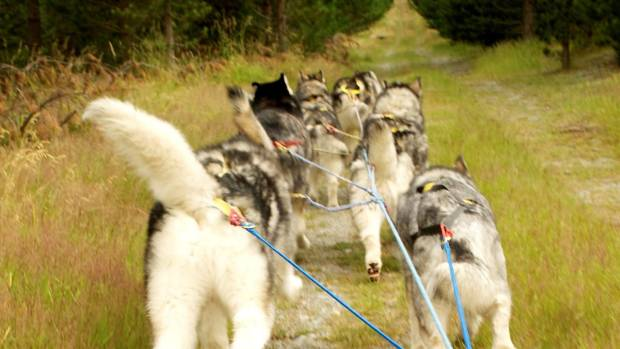 Real Dog Company dogs pull a sled through the forest.