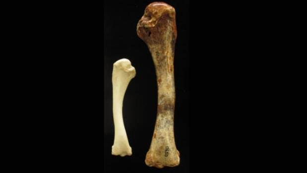 Comparison of the brush turkey humerus (upper wing bone) with that of extinct species Latagalliana naracoortensis.