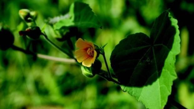 Velvet leaf.