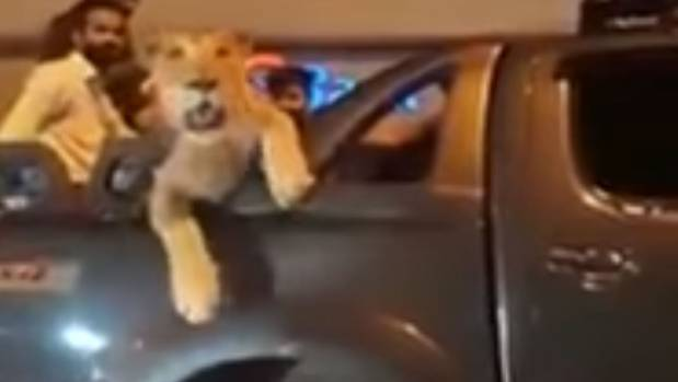 The lion seemed relaxed and sat in the back of the ute during the drive.