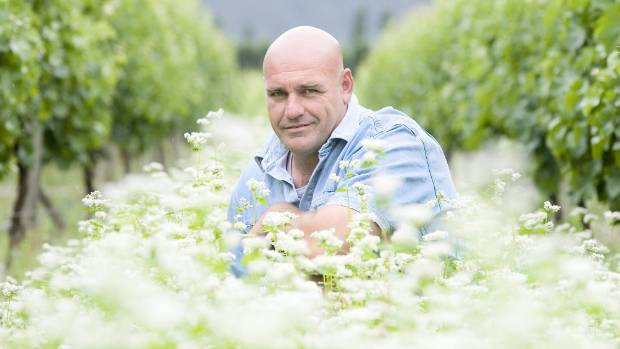 Organic viticulture consultant Bart Arnst among buckwheat and Phacelia planted between vines to attract insects. (File photo)