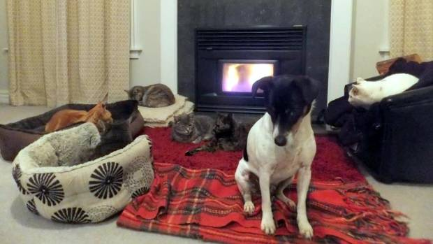 Charlie the Fox Terrier has heaps of feline fireside company. If this were a theatre, you'd say he's in B Reserve due to ...