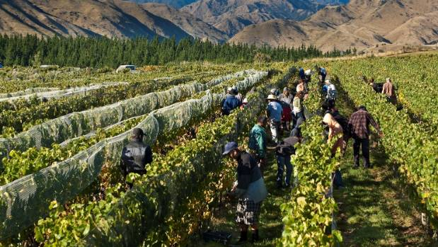 Hand harvesting takes place at the biodynamic Churton vineyard, in Marlborough. (File photo)   Supplied photo from ...