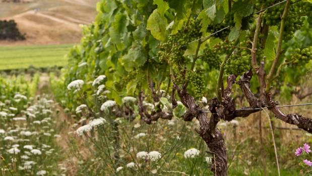 Row plantings help attract insects and bees to vines owned by the biodynamic and organic Marlborough producer, Seresin ...