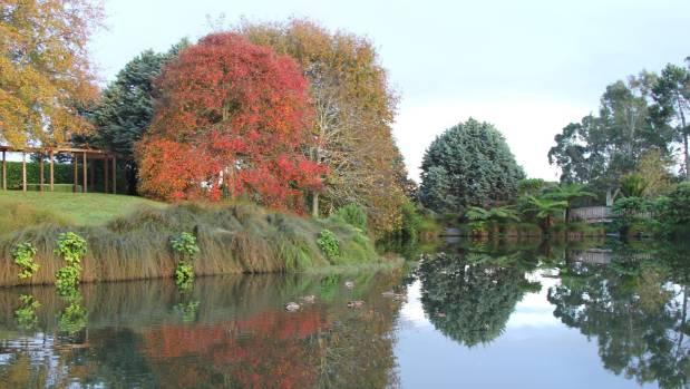 Nyssa sylvatica at Auckland Botanic Gardens.