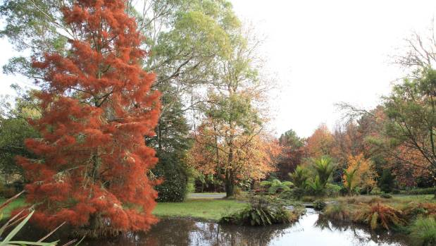 Swamp cypress growing in a lake at Ayrlies Garden.