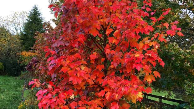 Acer rubrum 'October Glory' at Foggydale Farm.