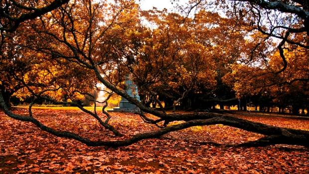 Autumn leaves in Auckland Domain.