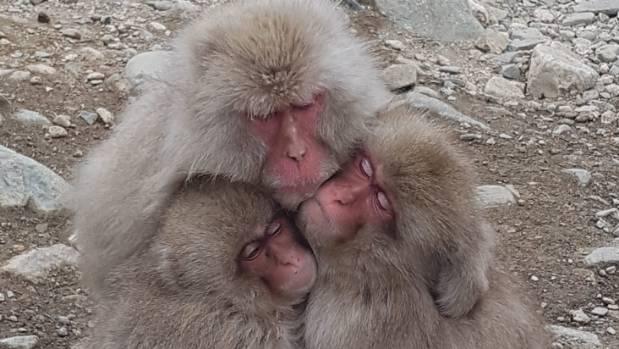 Three's company: Snow monkeys, at the Snow monkey park, Joshin'etsu National Park,Nagano Prefecture, Japan. Late winter, ...