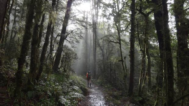 A great scene in the cloud forest on the Old Ghost Road track, the newest and greatest of our cycle or walk tracks. The ...