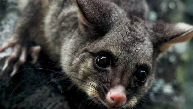 Possum control is continuing to grow in Southland.