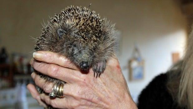 Ringo is one of nine hedgehogs Monique Jones is looking after.